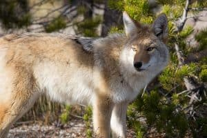 Do Coyotes Hunt In Packs?
