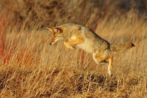 Coyotes in California (Facts, Pictures)