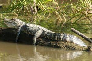 Can Alligators Climb Trees?
