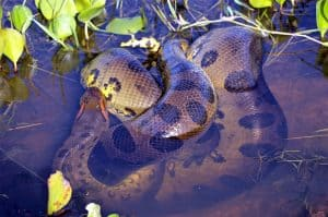 Are There Anacondas in the Florida Everglades?