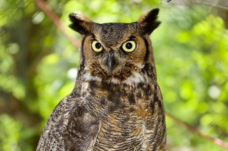 23 Birds Of Prey In Connecticut With Pictures Wildlife Informer