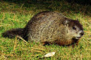Where Do Groundhogs Live?