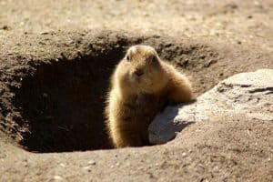 Are Groundhogs Nocturnal Or Diurnal?