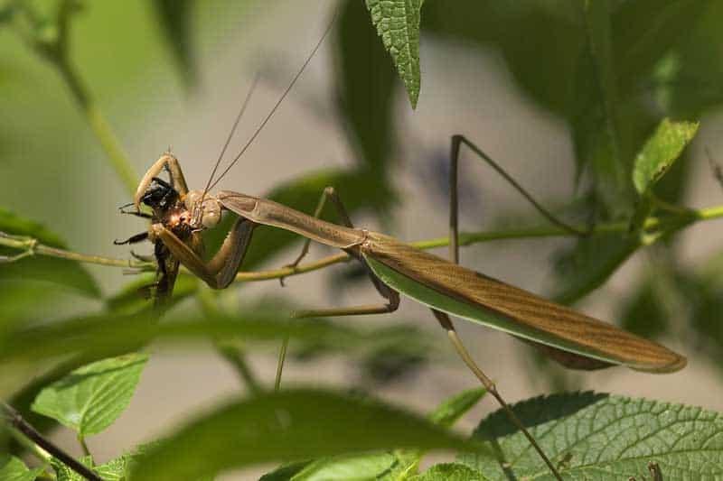 Can A Praying Mantis Hurt You Wildlife Informer