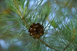 Do Pine Trees Grow From Pine Cones?