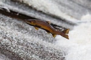 5 Fish That Swim Upstream (With Pictures)