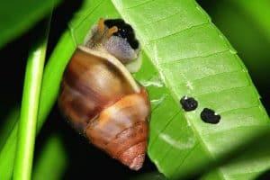 Do Snails Lay Eggs?