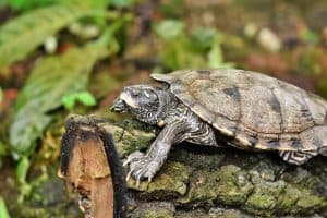 Do Turtles Breathe Out Of Their Butts?