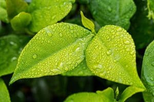 Do Tree Leaves Absorb Water?