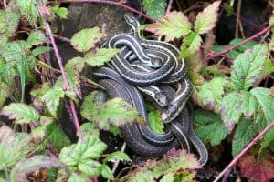 Are Garter Snakes Poisonous?