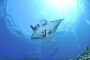 Manta Rays vs Stingrays - Here's the Difference