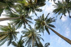Are Palm Trees Native to California?