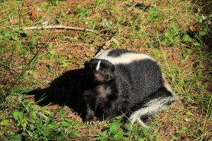 The 12 Types of Skunks (Facts & Info)