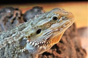Can You Overfeed a Bearded Dragon?