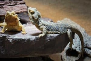 How To Care For a Bearded Dragon At Night - 6 Helpful Tips!