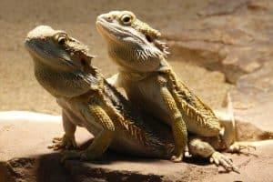 Do Bearded Dragons Watch TV?