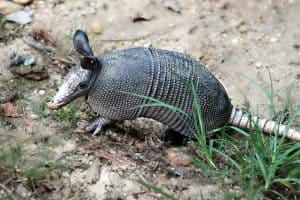 Armadillos in Tennessee (Facts, Info, and Pictures)