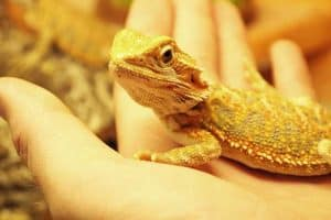 How to Get Your Bearded Dragon to Like You (8 Helpful Tips)