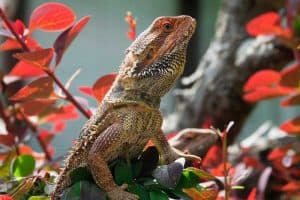 How to Travel With a Bearded Dragon - Helpful Tips