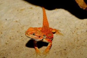 6 Reasons Why Your Bearded Dragon is Not Eating