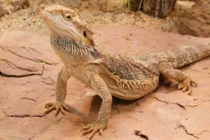 13 Signs Your Bearded Dragon is Happy
