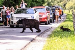 Best Time To See Bears In The Smoky Mountains