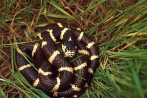 Snakes That Eat Other Snakes (10 Species)