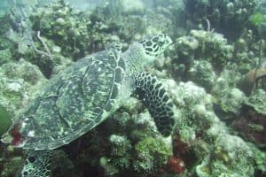 25 Facts About Hawksbill Sea Turtles