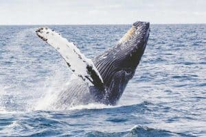 Whales in Maine - 4 Common Species To Look For