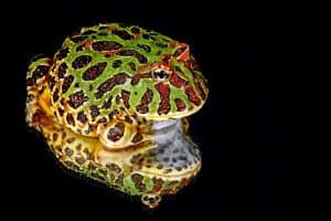 25 Cool Facts About Pacman Frogs