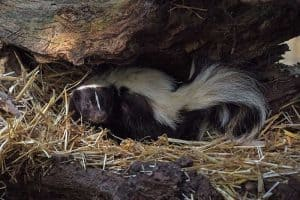 18 Interesting Facts About Skunks