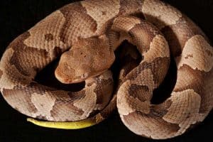 Snakes That Look Like Copperheads (8 Species With Pictures)