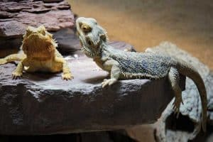 25 Cool Facts About Bearded Dragons