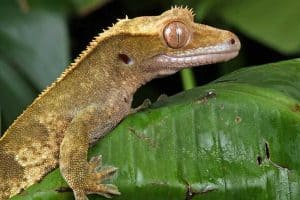 What Do Crested Geckos Need in Their Tank? (Don't Forget These Things)