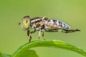 Does Citronella Repel Flies?