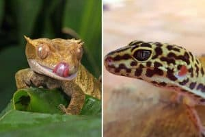 Crested Gecko vs Leopard Gecko as Pets - Which is Right For You?