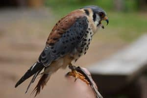 15 Interesting Facts About American Kestrels