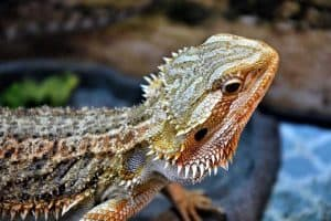 8 Crucial Bearded Dragon Tank Accessories