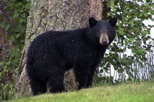 When Are Black Bears Most Active?