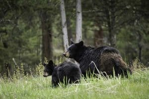 Black Bear Population By State (Estimates and Facts)