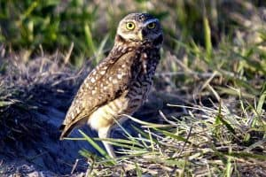 13 Different Owls In New Mexico (Pictures)