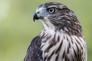 7 Species of Hawks In Vermont (With Pictures and Info)