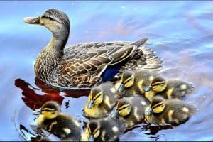 9 Interesting Facts About Ducklings