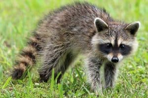 13 Interesting Facts About Baby Raccoons