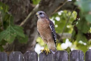 6 Species of Hawks in South Carolina (Pictures)