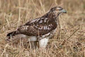 10 Species of Hawks in Nebraska (With Pictures)