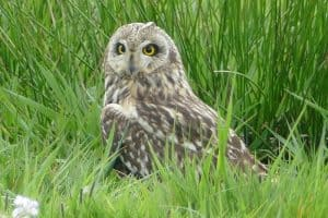 Owls In West Virginia (8 Species With Pictures)