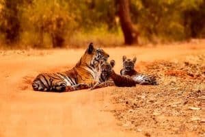 10 Interesting Facts About Baby Tigers