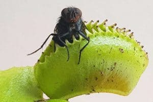20 Insect Eating Plants With Pictures and Names