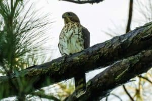 6 Species of Hawks in Mississippi (With Pictures)